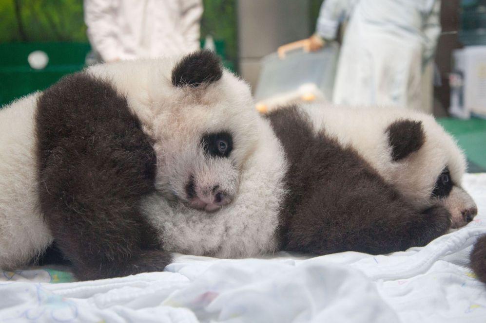 Dos de los trillizos panda mas famosos de China, juegan entre ellos en...