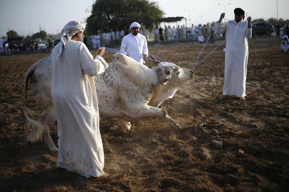 Los hombres de los Emiratos tiran de un toro con cuerdas, durante una...