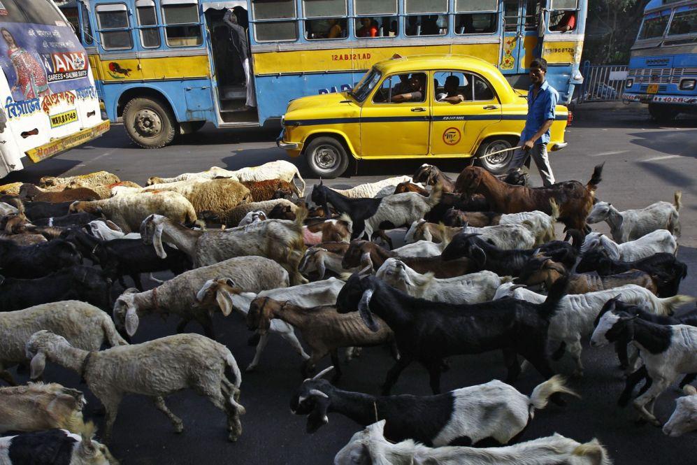 Un comerciante sigue a su rebaño de ganado hacia un mercado, a...