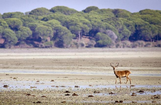 Un ciervo pasea por las marismas del Parque Nacional de Doñana...