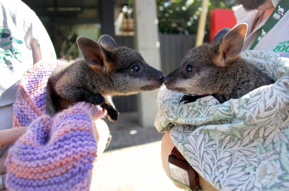Fotografía cedida por el Zoológico Taronga que muestra a dos...