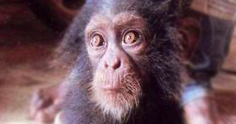 Bebé chimpancé aterrorizado tras ser encontrado junto a los restos...