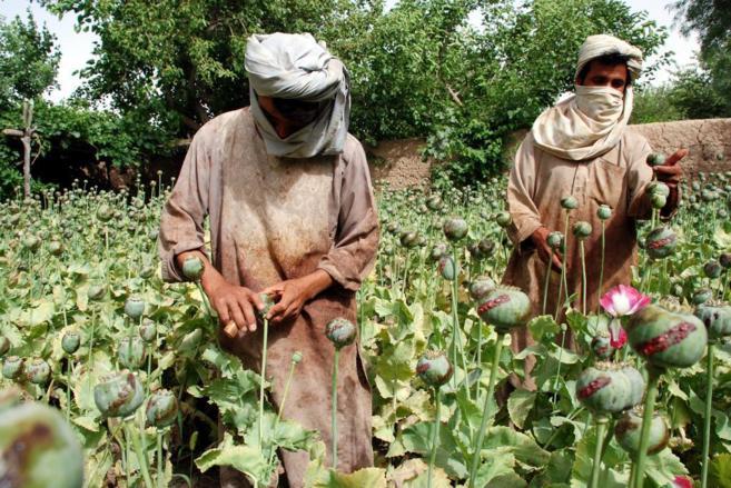 Dos hombres recogen opio en un campo del distrito de Nadali.