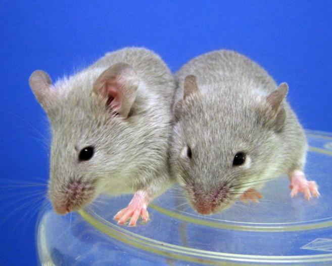 La comparación de los genomas del ratón y del humano, clave para el ...