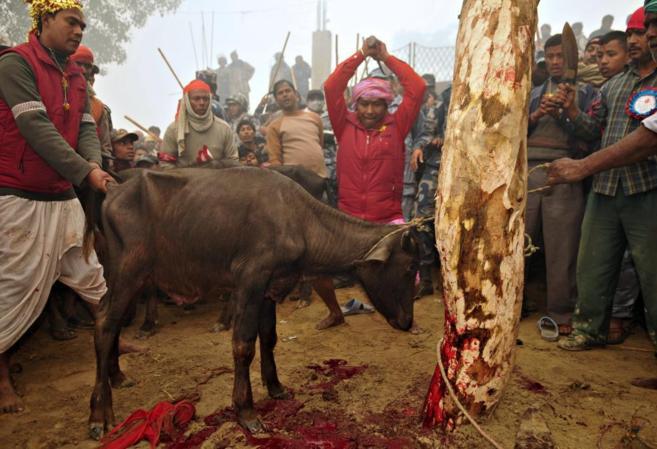 Un hombre hindú a punto de sacrificar a un búfalo como ofrenda a la...
