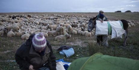 Los pastores conducen un rebaño de casi 2.000 ovejas y 40 cabras.