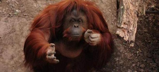 Sandra, la orangután del zoo de Buenos Aires.