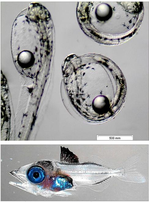 Arriba, larva de atún rojo saliendo del huevo; abajo, larva de cinco...