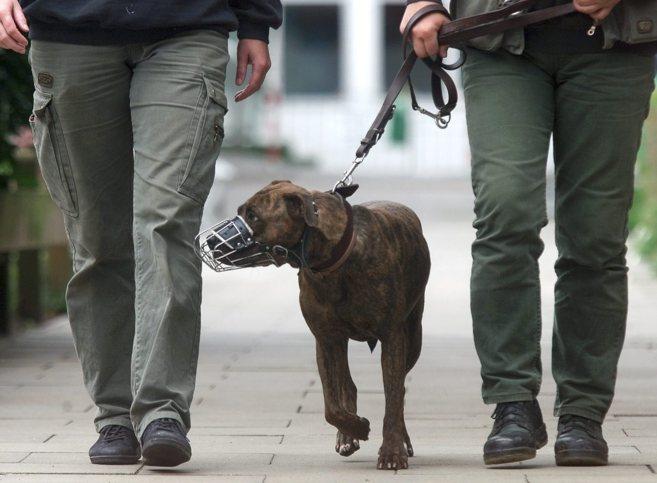Un perro catalogado como peligroso pasea con bozal y correa.