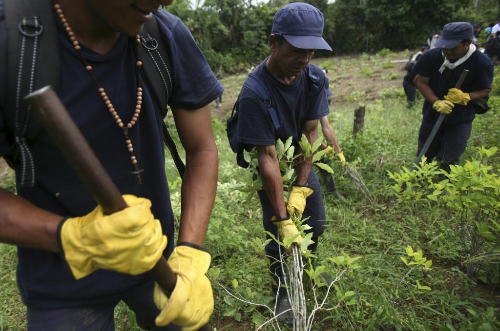 Granjeros colombianos arrancan plantas de coca en La Espriella...