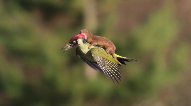 Una comadreja volando sobre un pájaro carpintero.