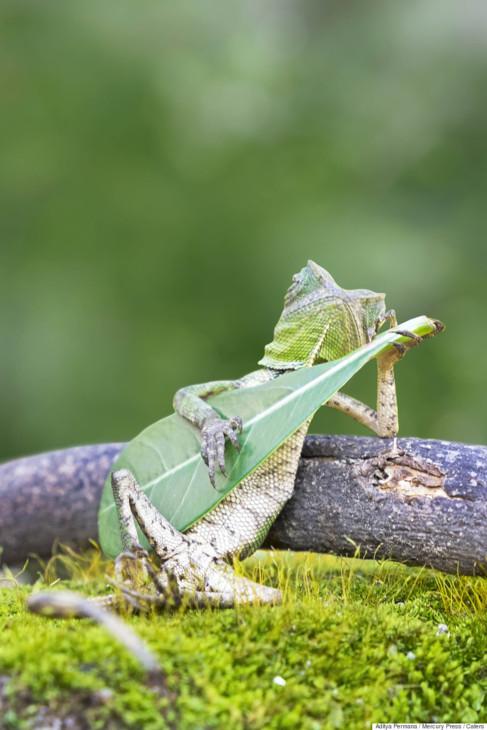 Un lagarto sujetando una hoja a modo de guitarra.