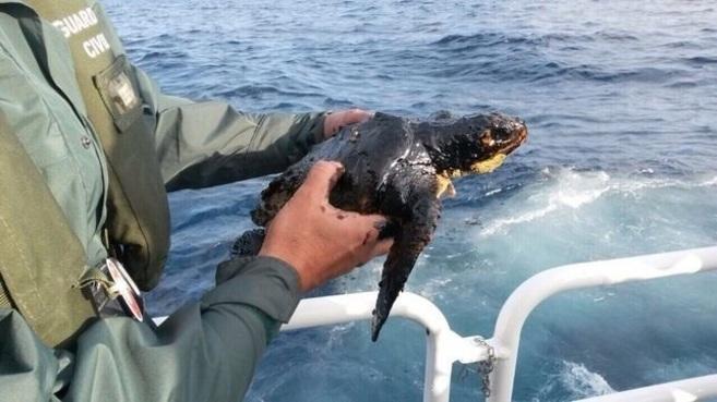 La tortuga boba cubierta de fuel.