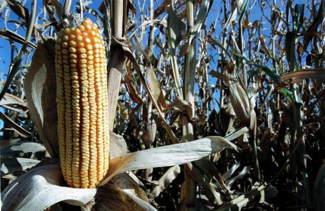 Un campo de maíz transgénico