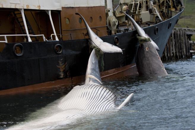 Dos ballenas muertas atadas a un barco ballenero en Hvalfjordur...