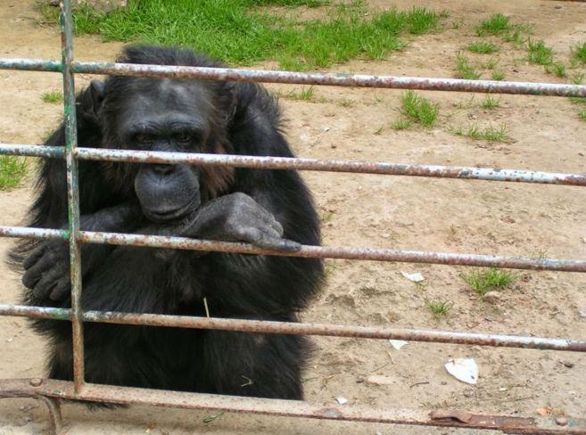 Uno de los dos chimpancés que se escaparon este lunes del zoo...