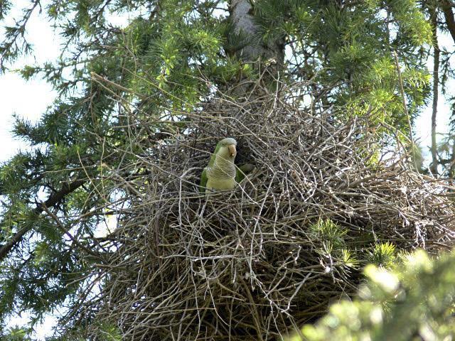 Cotorra en su nido en un árbol