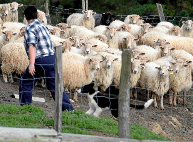 Un rebaño de ovejas en Oiartzun, Guipúzcoa.