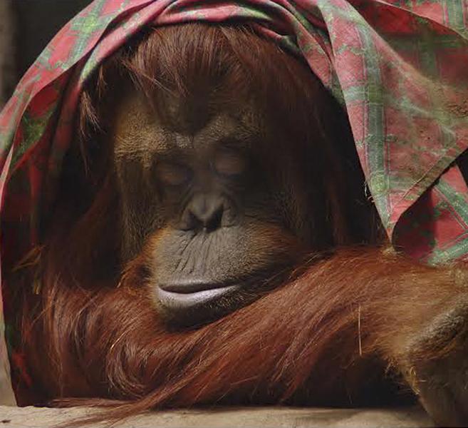 La anciana orangutana nació en cautividad, lejos de Borneo y Sumatra,...