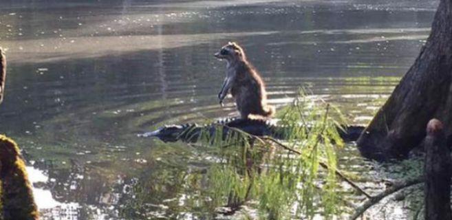 El mapache que navegó a bordo de un caimán por el río Oaklawaha