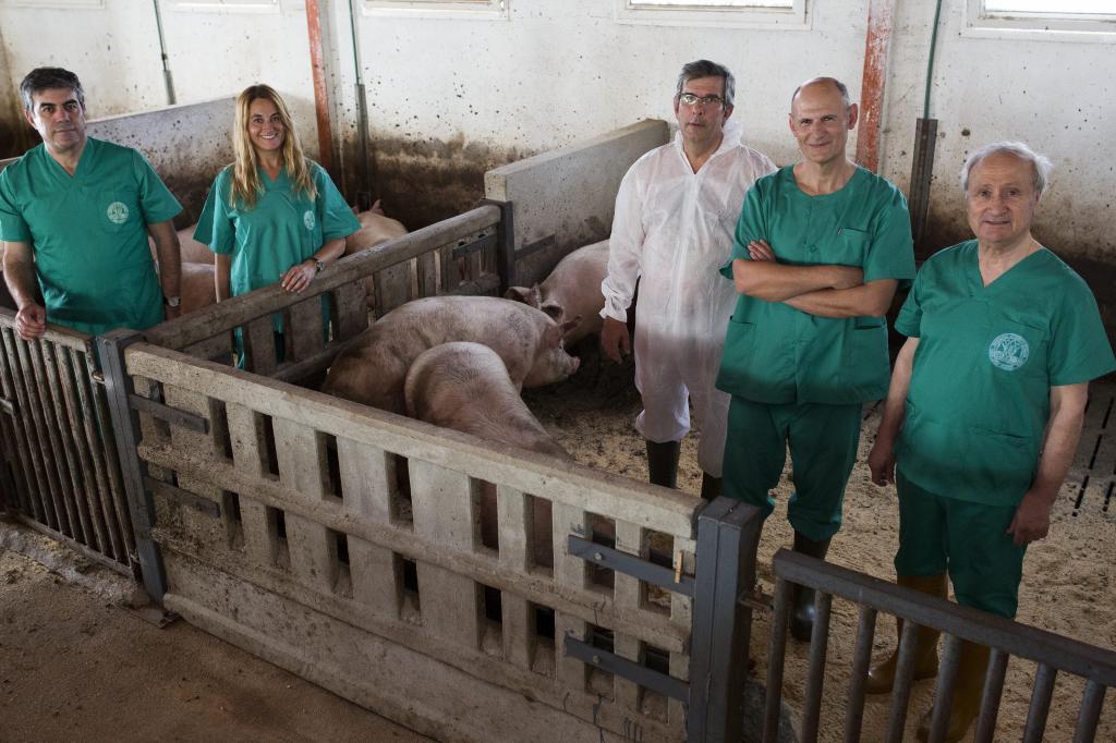 Trasplantes: Los cerdos que fabricarán en su interior órganos ...