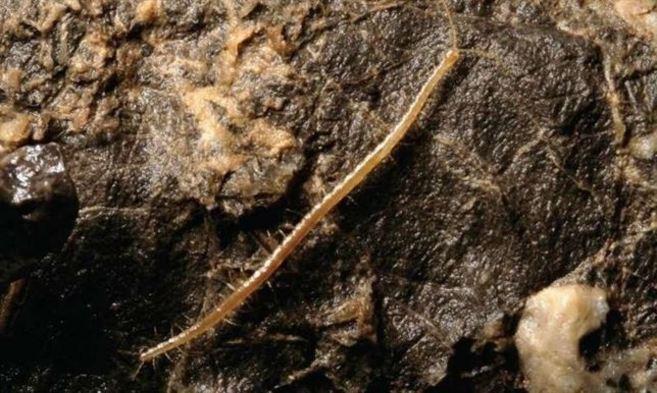 Hades, la nueva especie de ciempiés descubierta en Croacia.