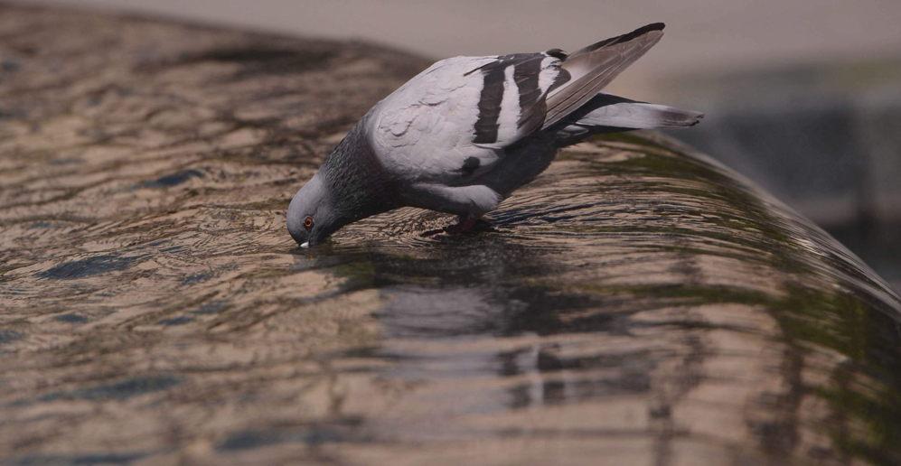Hasta las palomas buscan refrescarse hasta que remita la ola de calor...