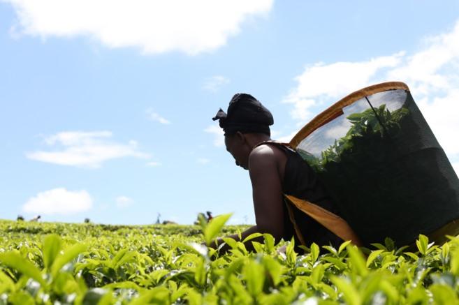 Una mujer recoge té en la plantación de Maramba, en Kenia