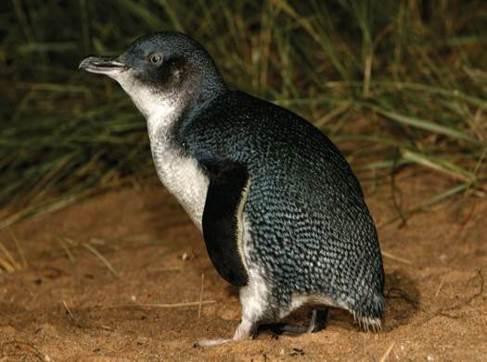Pingüino enano australiano (Eudyptula minor)