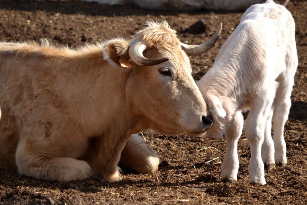 Una vaca de la granja de BioTTernera con su ternero.