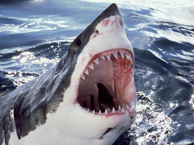 Imagen de un tiburón blanco, posible causante del fallecimiento del...
