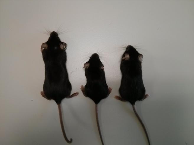 Los ratones utilizados en el experimento.