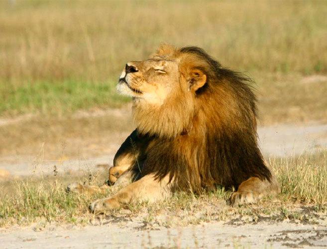 El león más importante de Zimbabue, Cecil.
