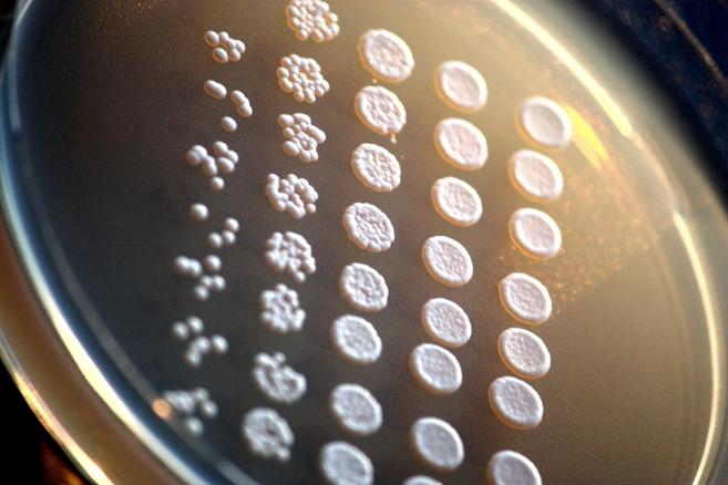 La 'Saccharomyces cerevisiae' o levadura del pan bajo el...