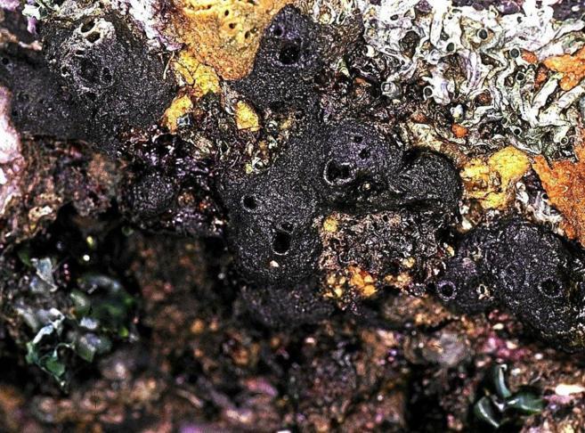 Imagen de 'Halichondria okadai', del que se sintetiza la eribulina.