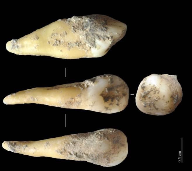 El diente hallado en Cova Bonica, de 7.400 años de antigüedad.