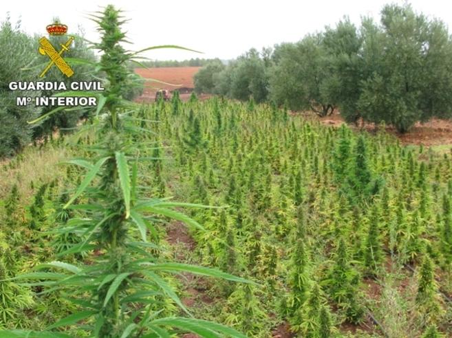 Imágenes de la plantación, ubicada en  un olivar, intervenida por la...
