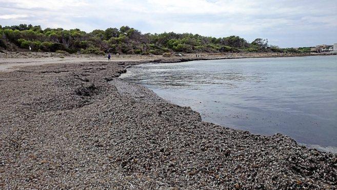 Los restos de posidonia acumulados a orillas de la playa de Es Trenc,...