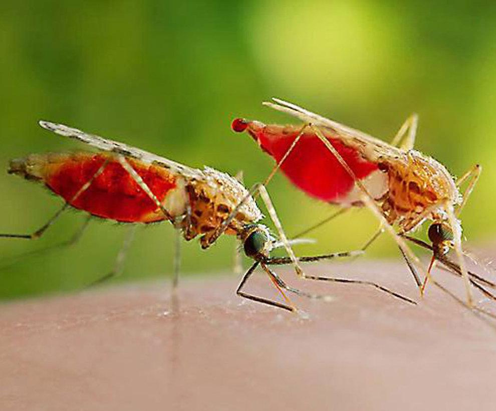 Mosquitos transmisores de la Malaria.
