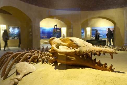 Fosil de Basilosaurus isis en el museo.
