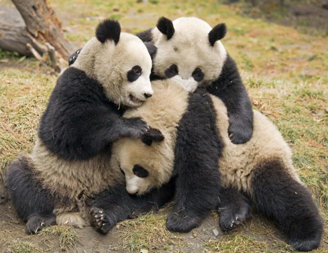 28000 Euros Al Año Por Abrazar Osos Panda F5 El Mundo