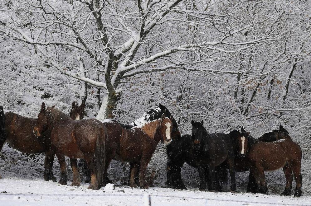 Varios caballos se protegen bajo las ramas de los arboles junto a la...