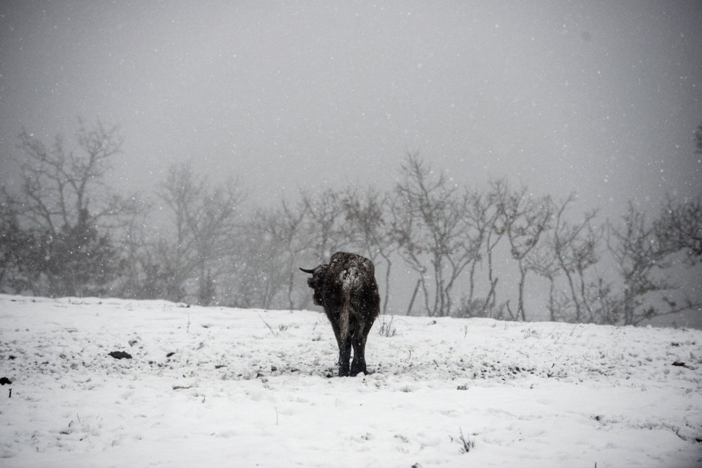Una vaca en un prado nevado en el municipio de Ourense de Montederramo...