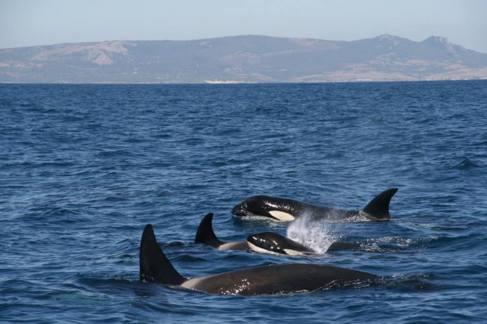 Grupo de orcas en el Estrecho de Gibraltar.