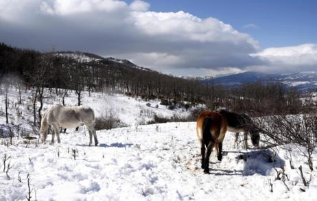 Caballos pastan entre la nieve cerca de Cercedilla.