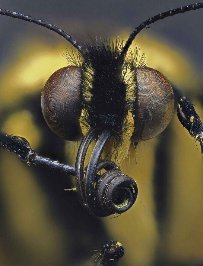 Cabeza de una mariposa de cola de golondrina (Papilio).