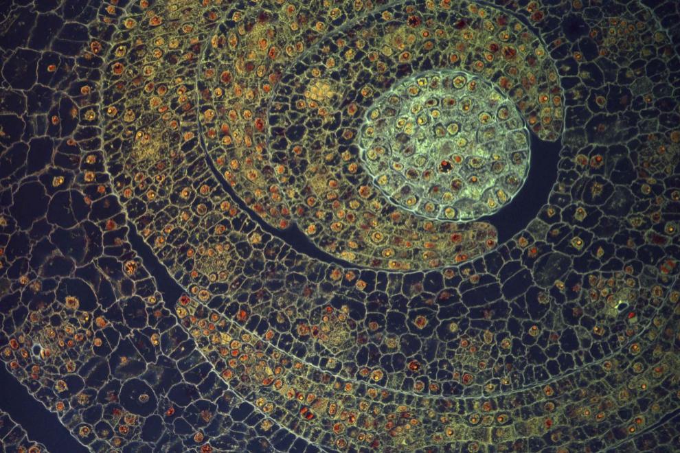 Corte transversal de hojas de maíz que revela su estructura organizada. Cada una de las hojas curvas está compuesta por muchas células pequeñas con forma cuadrada y rectangular, y en cada célula hay un núcleo que se ve en color naranja.
