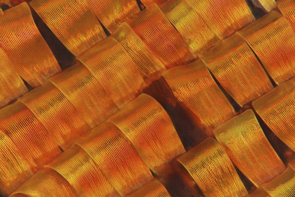 escamas de polilla crepuscular de Madagascar (Chrysiridia rhipheus). Es una polilla grande y colorida activa durante el día, cuando la mayoría de las demás especies de polilla lo son por la noche. A menudo se la confunde con una mariposa. Al agitar las alas, estas brillas en la luz y cambian de color, pero estos colores son una ilusión óptica.