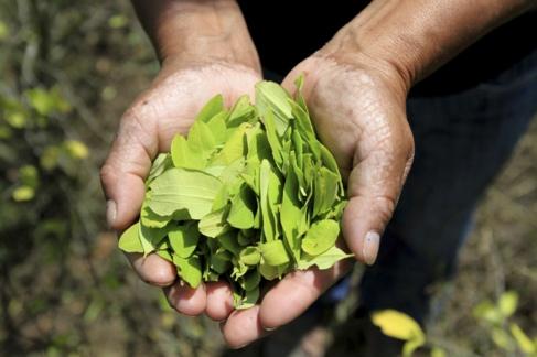 Una agricultora muestra un puñado de hojas de coca cultivadas en su...