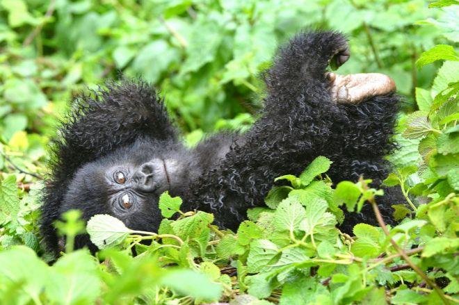 cd8582a4ab59 El gorila más grande del mundo está más cerca de extinguirse ...